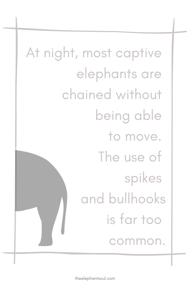 Captive elephants are chained all night  - The Elephant Soul blog.png
