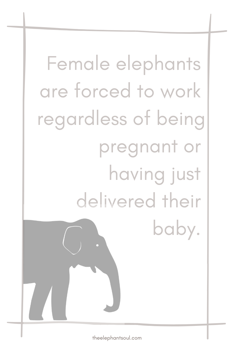 Female working elephants are forced to work after delivery - The Elephant Soul blog.png
