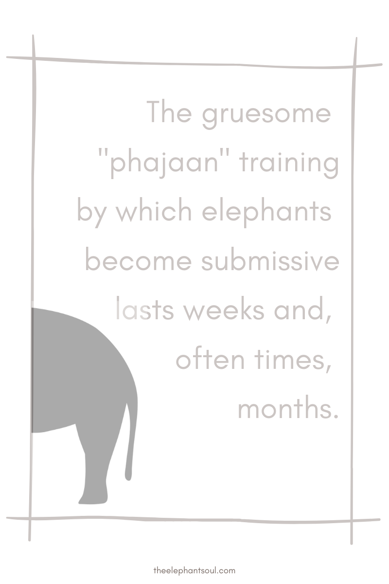 Phajaan is the abhorrent inhumane method used in Asia to train elephants - The Elephant Soul blog.png