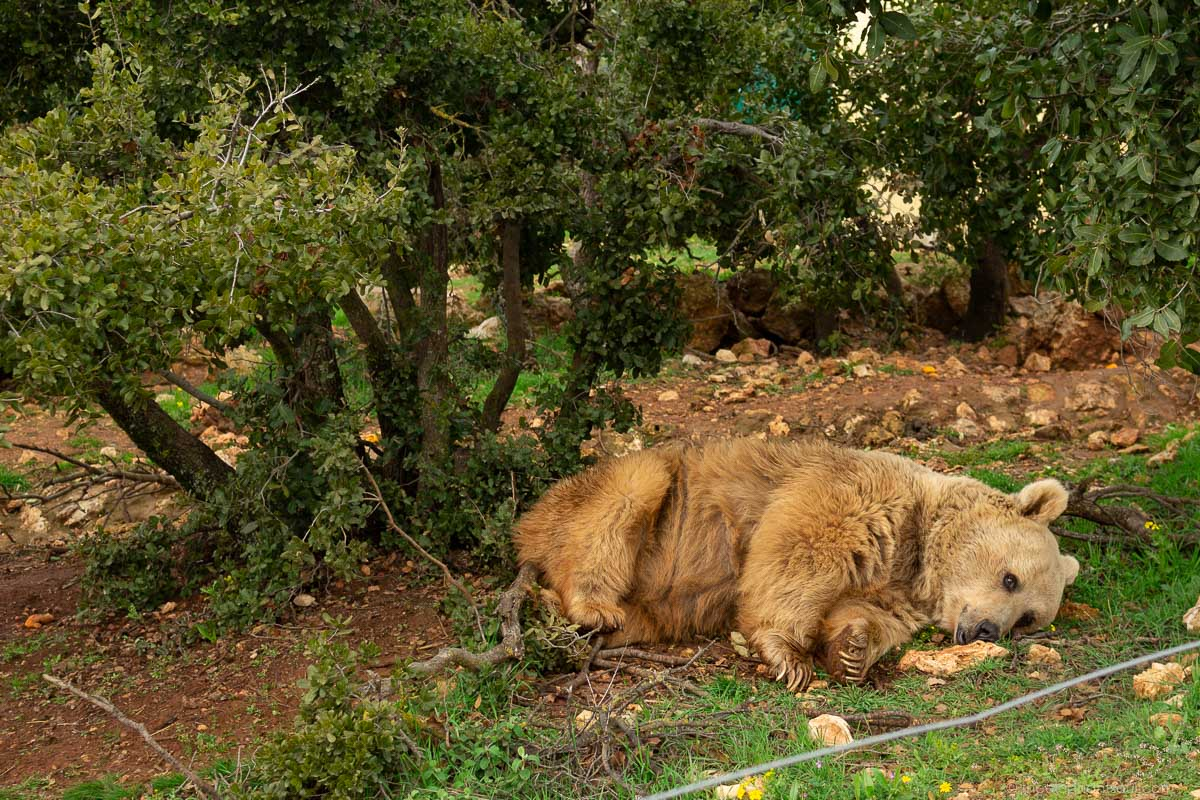 Aside from lions and tigers, Al Mawa for Nature and Wildlife is also home to two Syrian Brown Bears. This is Lula. She was rescued from a zoo in Iraq by Four Paws International. She loves napping under the trees.