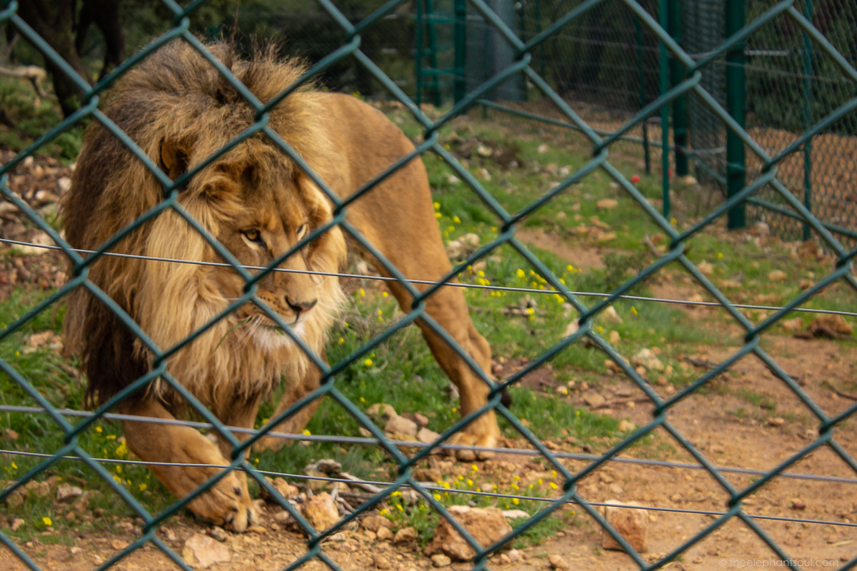 This is one of the lions rescued by Four Paws International who is now living at Al Mawa for Nature and Wildlife. This is a sanctuary in Jordan for animals formerly living in zoos, circuses and private homes around the Middle East.