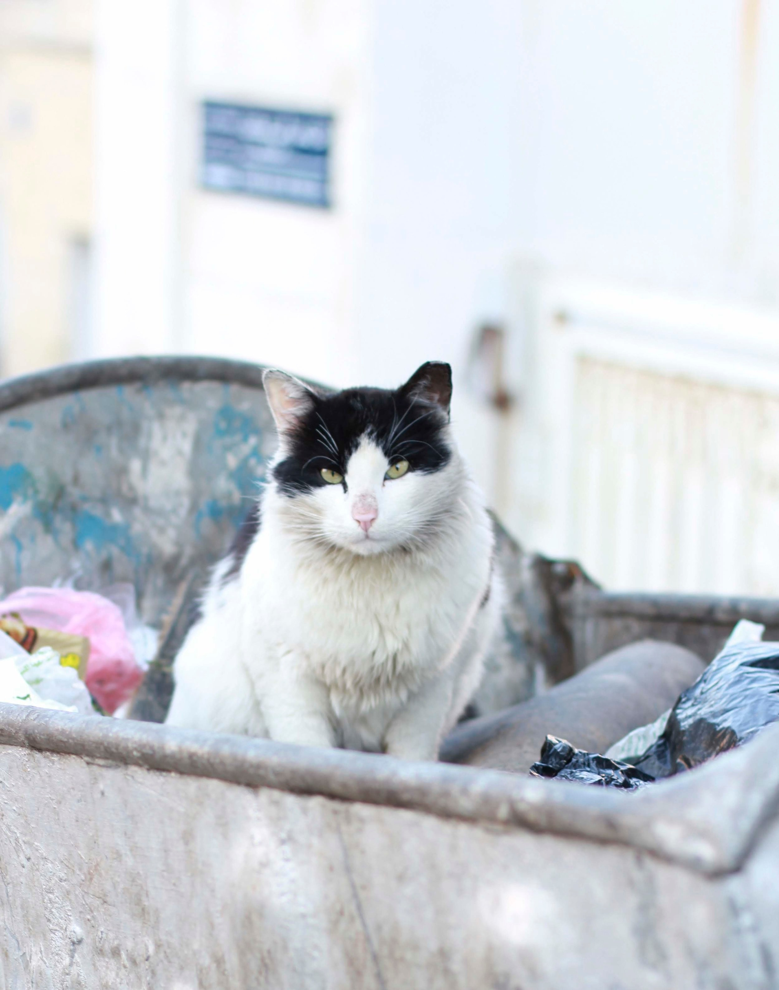 This beautiful Jordanian stray cat is one of the beneficiaries of the trap, neuter and return program implemented by The Basboos Project. Image ©The Basboos Project