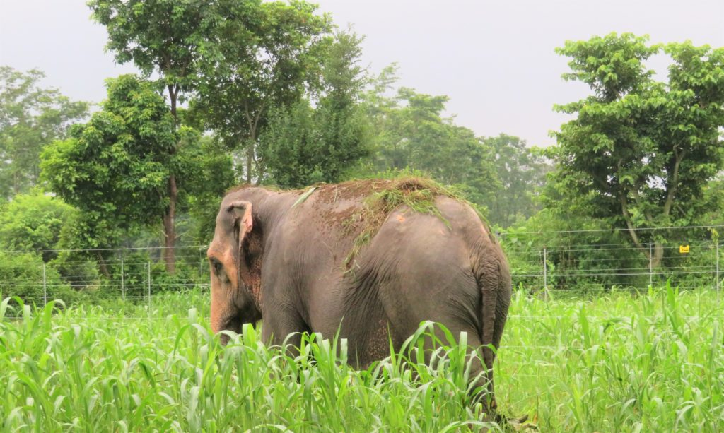 Photo of Lucky Kali, the first working elephant in Nepal to ever retire. Image ©  Association Moey