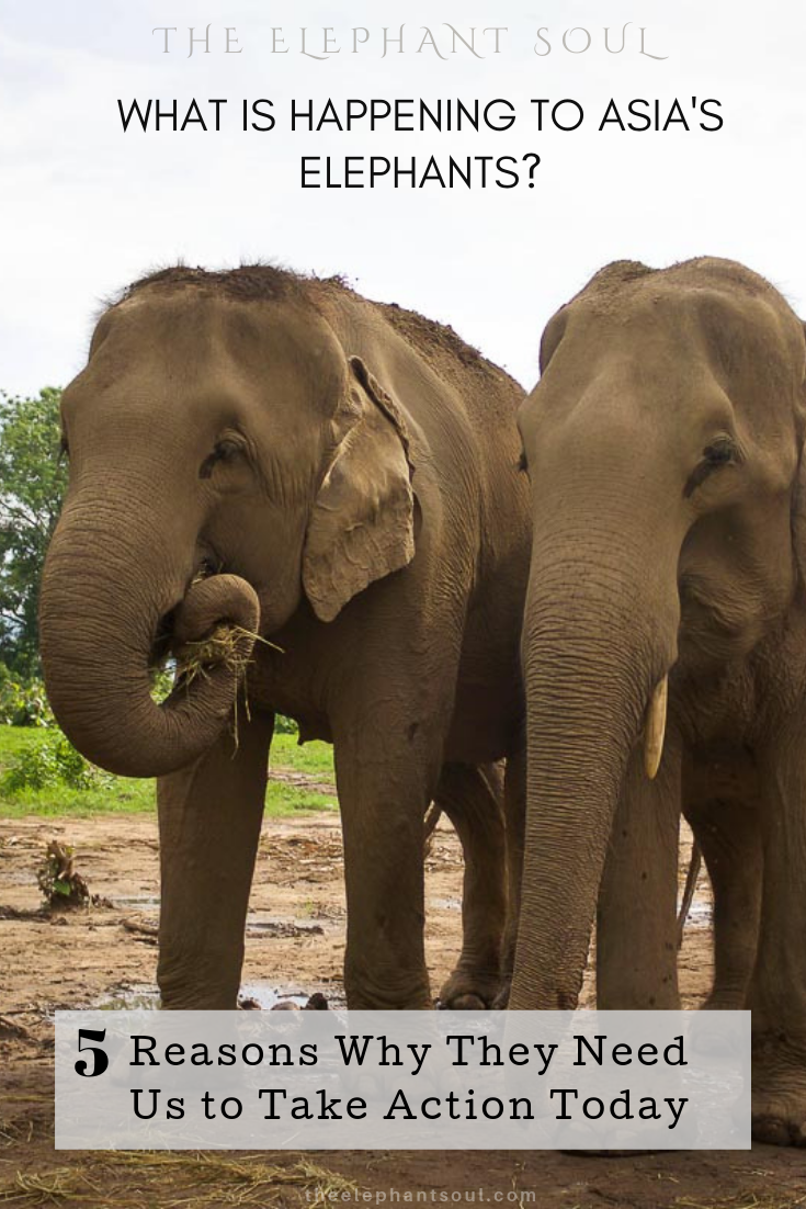 These happy elephants live their life in retirement at Nepal's only elephant-friendly resort. This place is  Tiger Tops  in Chitwan National Park. Image © Diana, The Elephant Soul