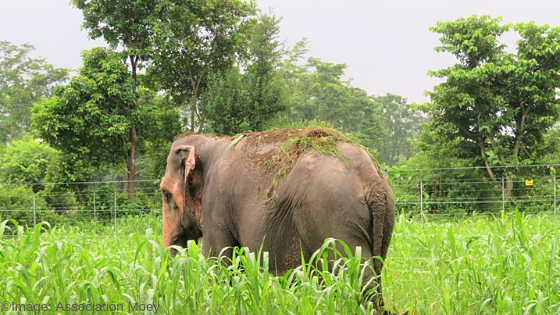 Pictured here: Lucky Kali is the success story of humane management of elephants in Nepal. © Association Moey