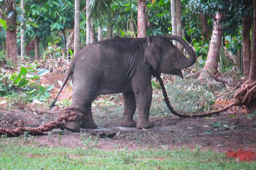 Tethered baby elephant, taken away from his mother and unable to move. © Image: Save the Asian Elephants. Used with permission. To learn more about their work visit:  stae.org