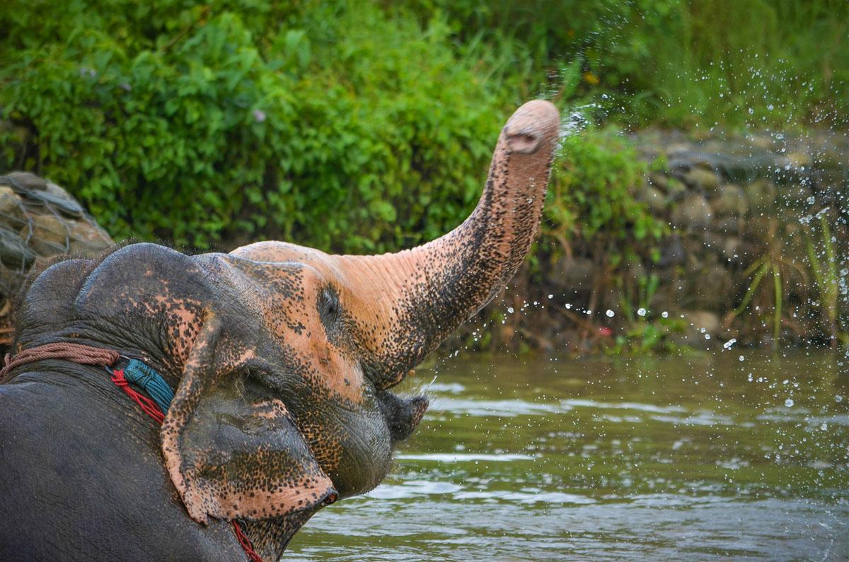 Nepal's luckiest elephant, Lucky Kali, taking a bath in the river in Sauraha, Chitwan. © Image: Lena Quénard