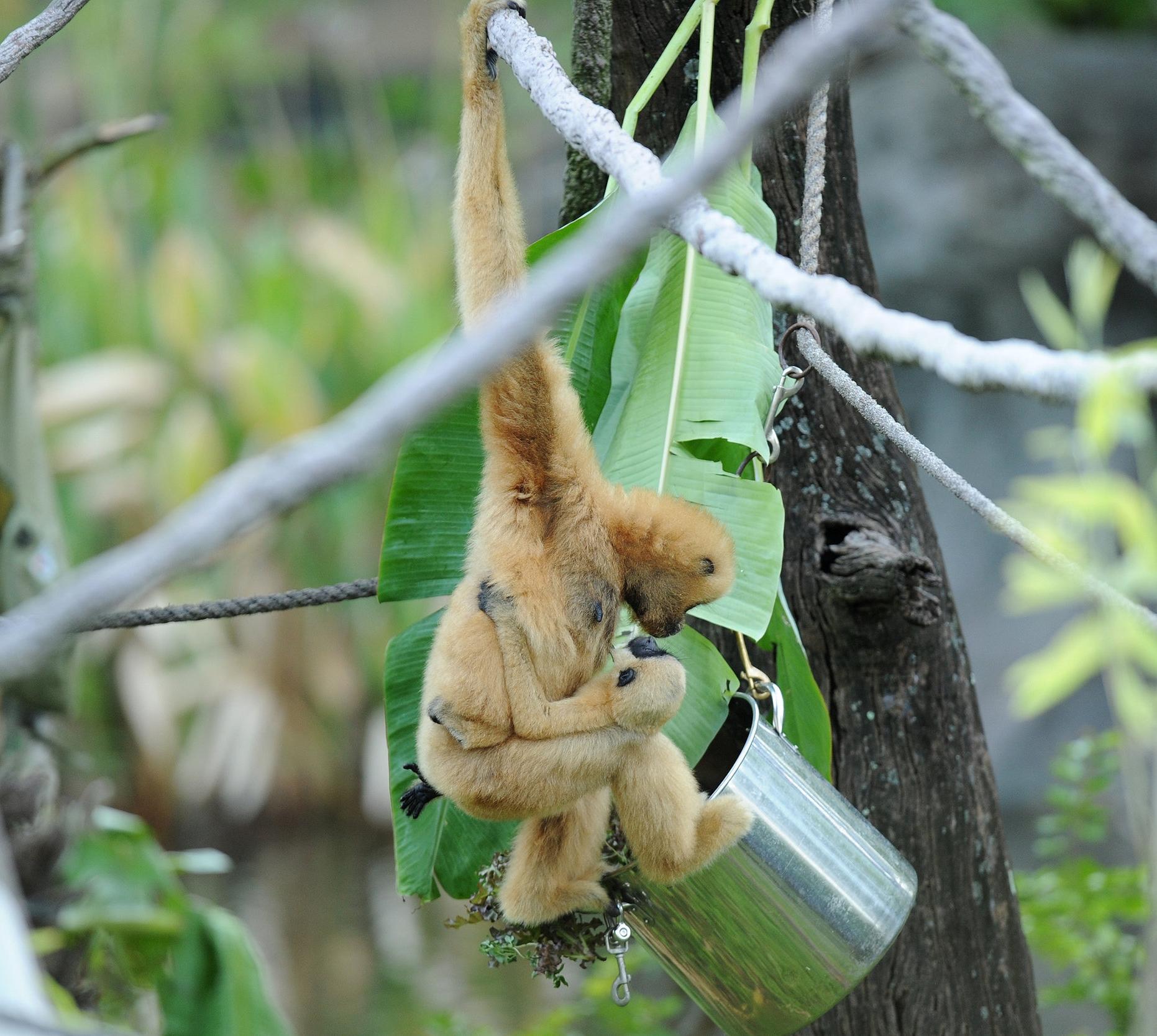 Gibbon with bucket feeder.jpg