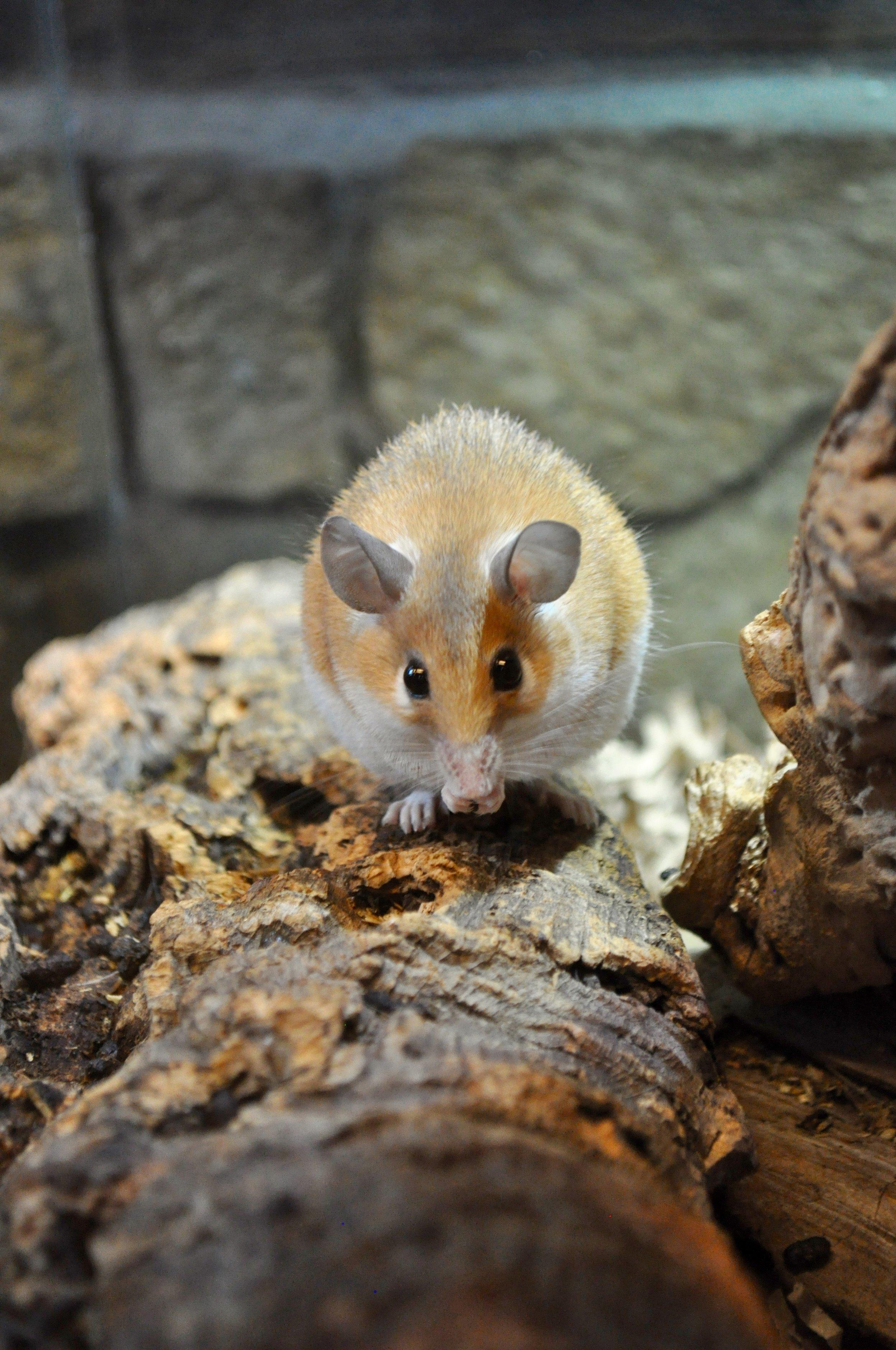 Spiny Mice-2.jpg