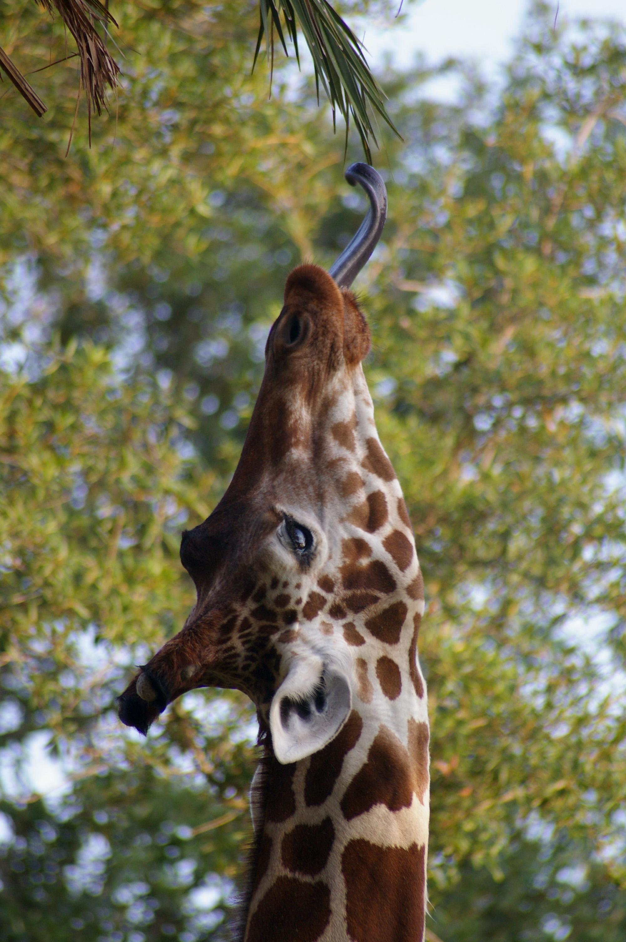 Giraffe 09.jpg