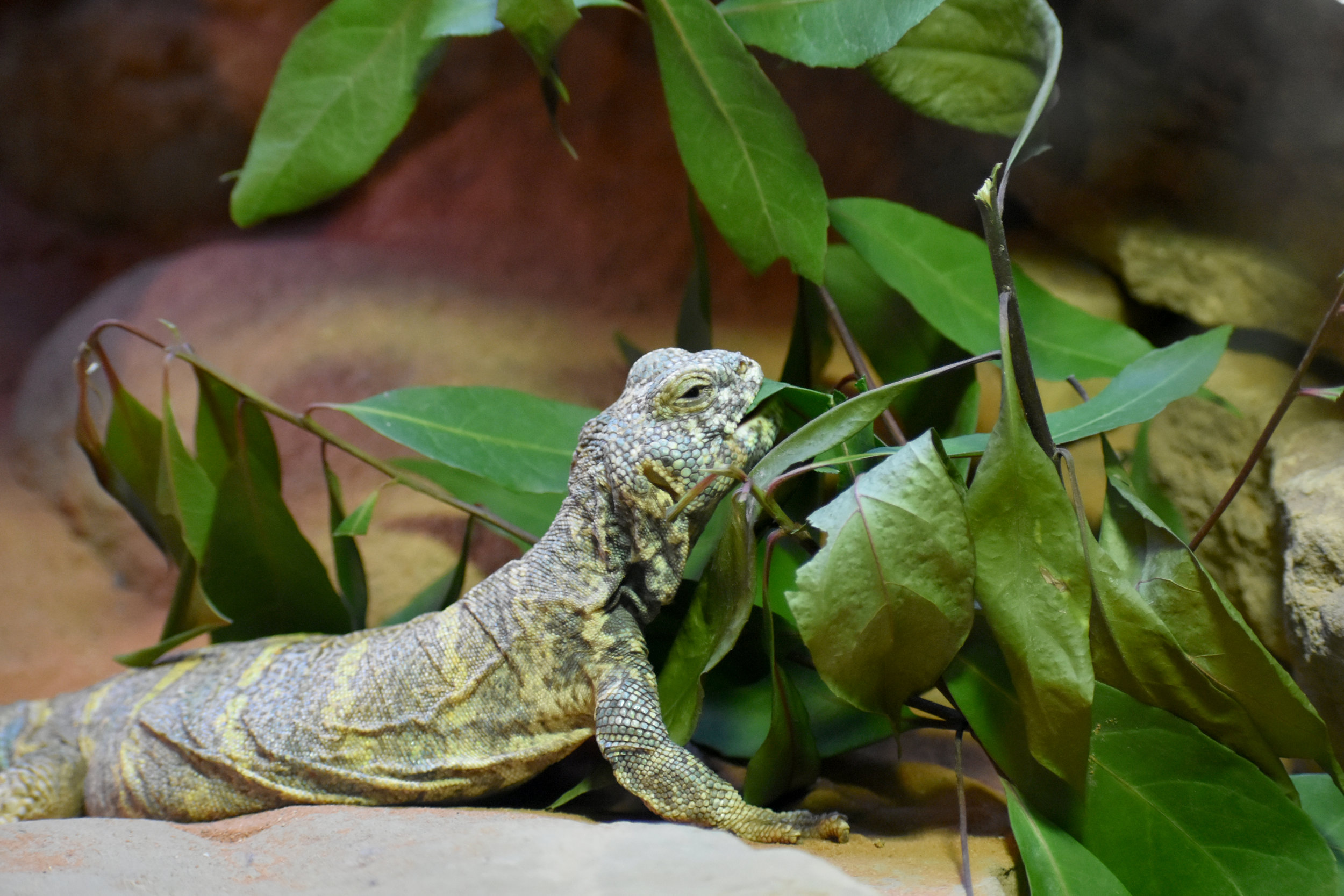 ST Lizard with Browse 3.JPG