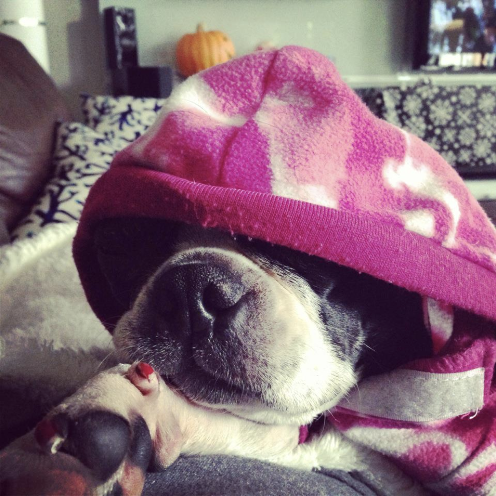 Miss Piggy Boston Terrier doing her thing.png