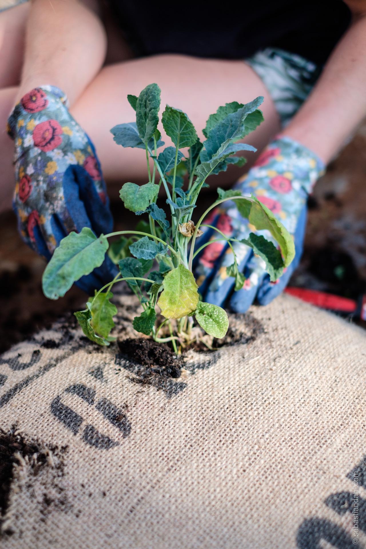 Palmekål planta ved hjelp av elever fra Hersleb vgs, i kaffesekker fulle av god jord fra Efferus. Foto: Sebastian Dahl
