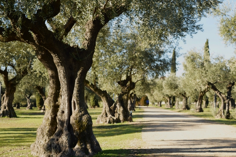 Take a rest in the shade of the gnarly olive trees.
