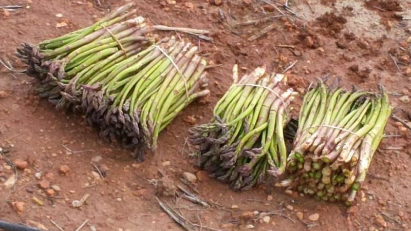 Asparagus grown in fields near Granada