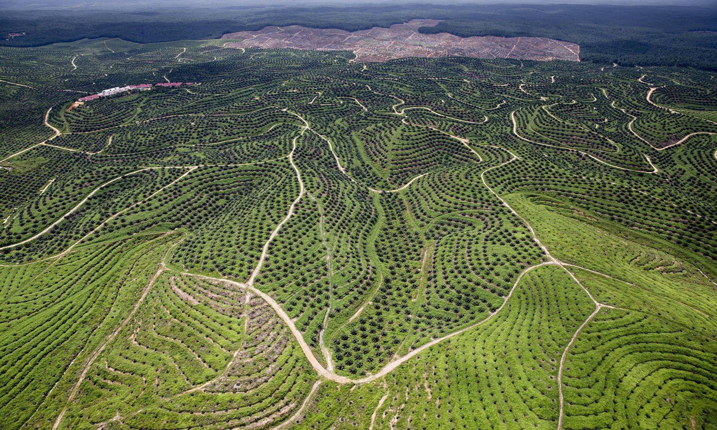 A-Wilmar-palm-oil-plantat-014-guardian.jpg