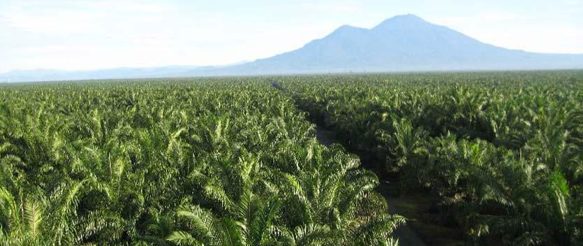 Wilmar-Oil-Palm-plantation.jpg