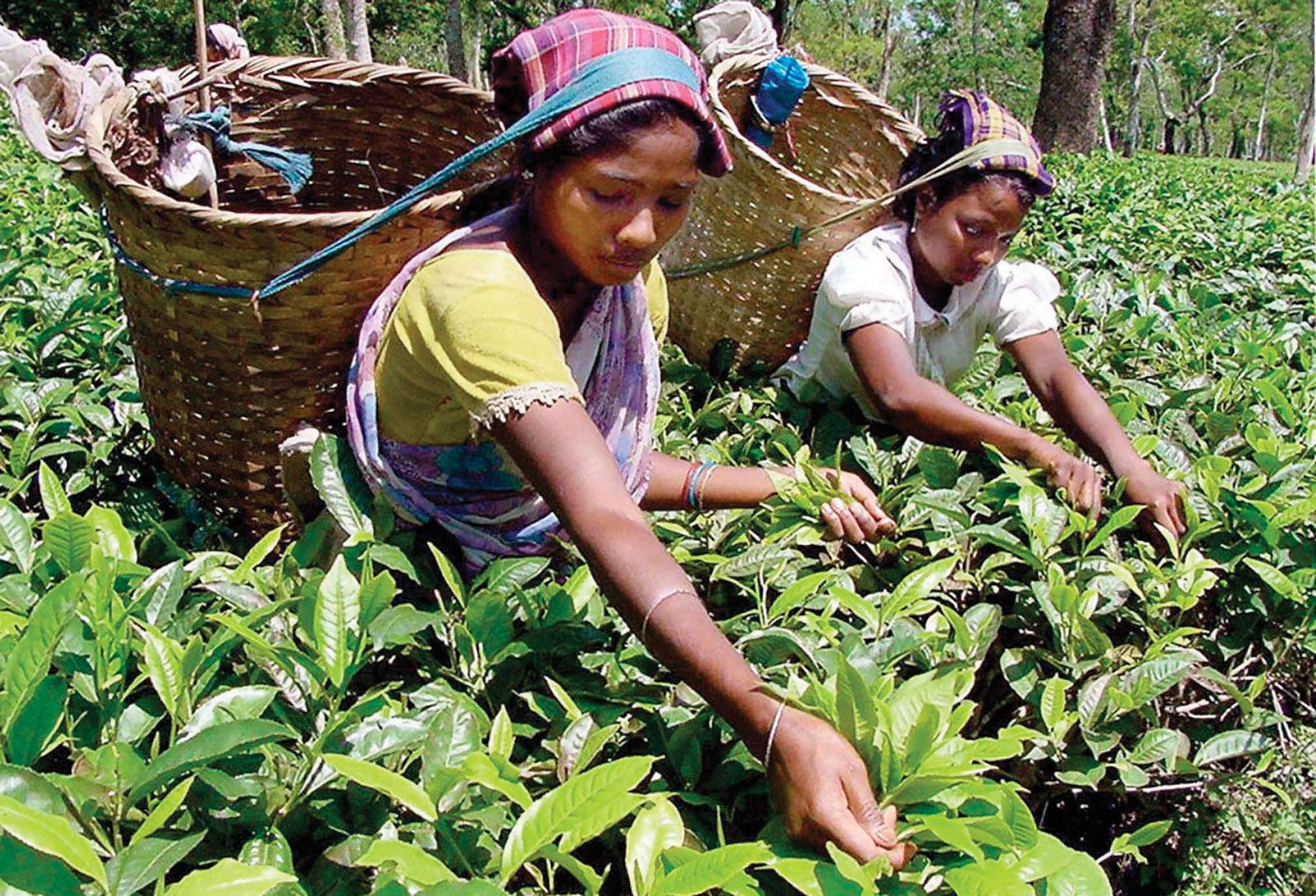 tea - britannica.com.jpg