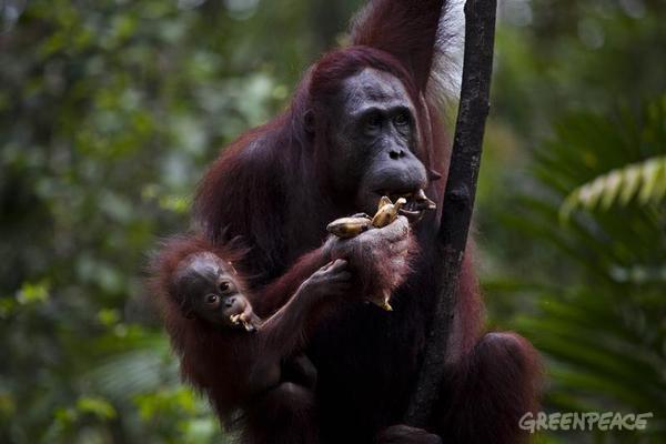 orangutan-tanjung.jpg