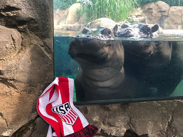 @cincinnatizoo's BiFi love for @usmnt @ussoccer as they come to #cincinnati to play #venezuela! ⚽️ 🦛 ⚽️ #cincyusa #cincinnati #queencityscenes #cincinnatizoo #animalsofinstagram #hippos #teamfiona #igerscincinnati #cincishooters #summerincincy #usmnt #ussoccer #soccer #futbol #soccertime #soccertraining #cincyusasports
