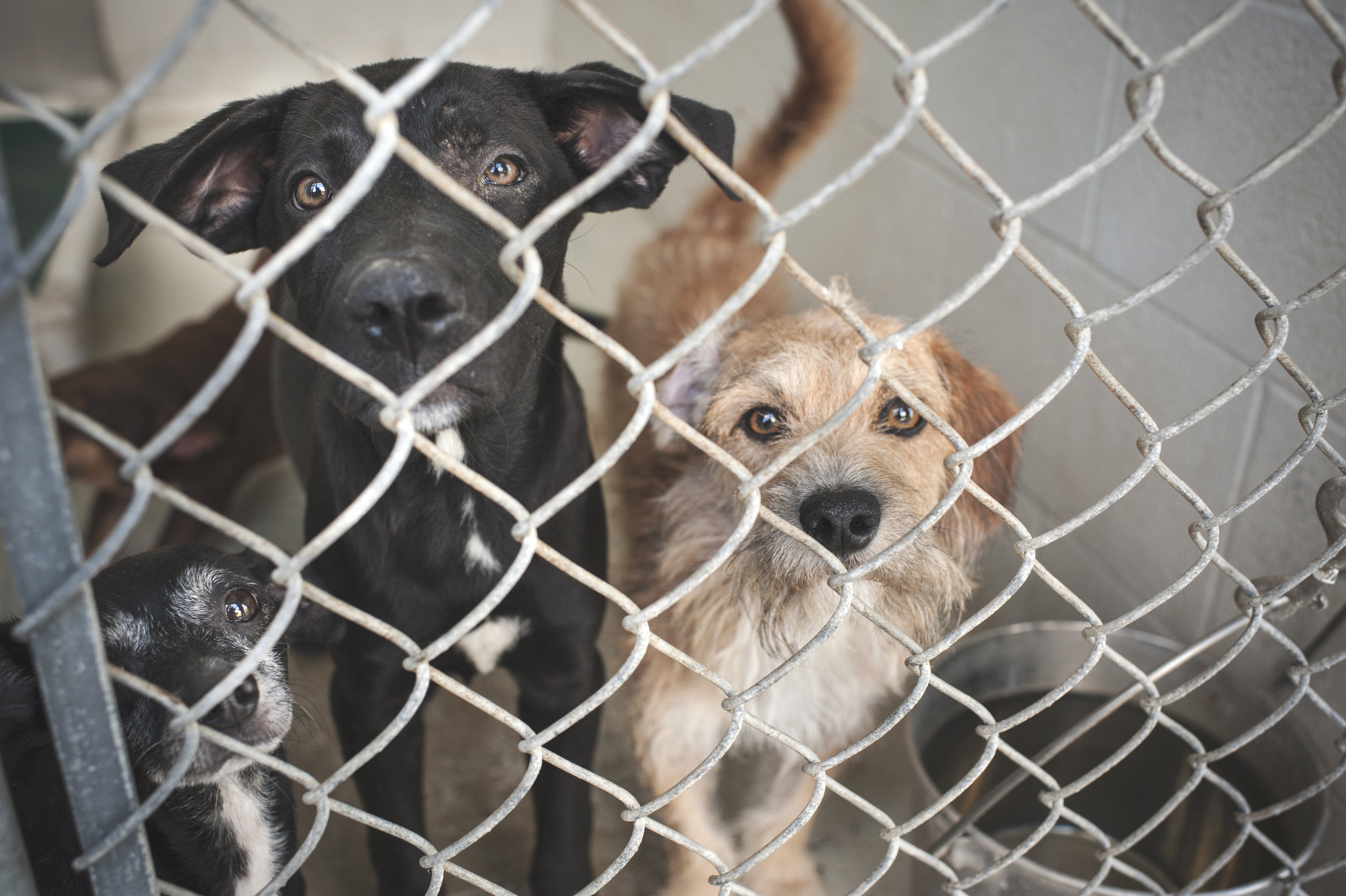 Just one of the many full kennels at Ft. Bend County Animal Services, where unclaimed dogs can only be held for a period of three days or 72 hours.   Dudley Do-Right (far right) is one of the dogs that peacelovedogs pulled.
