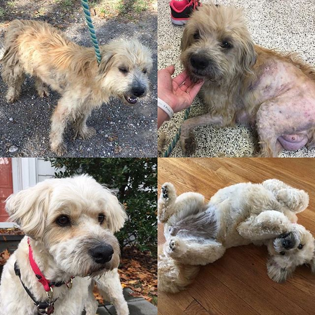It's hard to believe we rescued Delilah & her puppies from under a trailer a year ago. She's come along way in that time and found such a wonderful family in NJ that lovers her so much! ❤️ #adoptdontshop #formerstreetdog #wheatonterriersofinstagram #muttsofinstagram #rescueroadtrips #spayandnueter #happilyeverafter
