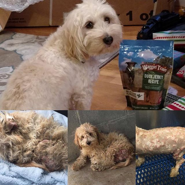 Merry Christmas from Brewster! 🎅🏼 Below are his before pictures a year ago. Thank you to @beachbrights for fostering and the entire #teambrewster for donating, sharing and sending good vibes his way! We appreciate all of you! #adoptdontshop #formershelterdog #doodlesofinstagram #fosteringsaveslives #peacelovedogs