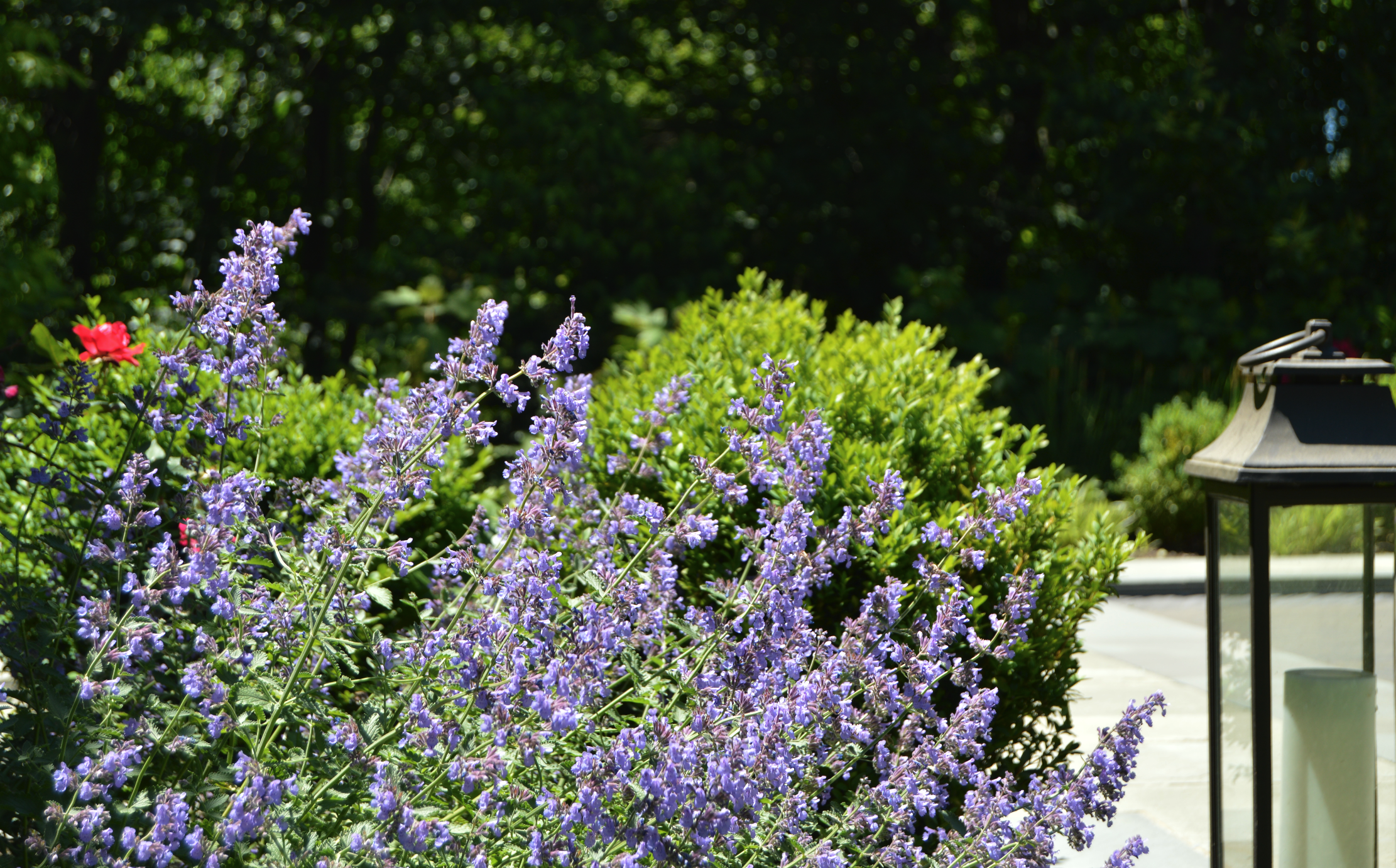 Copy of landscape design lavender plantings in Croton, NY