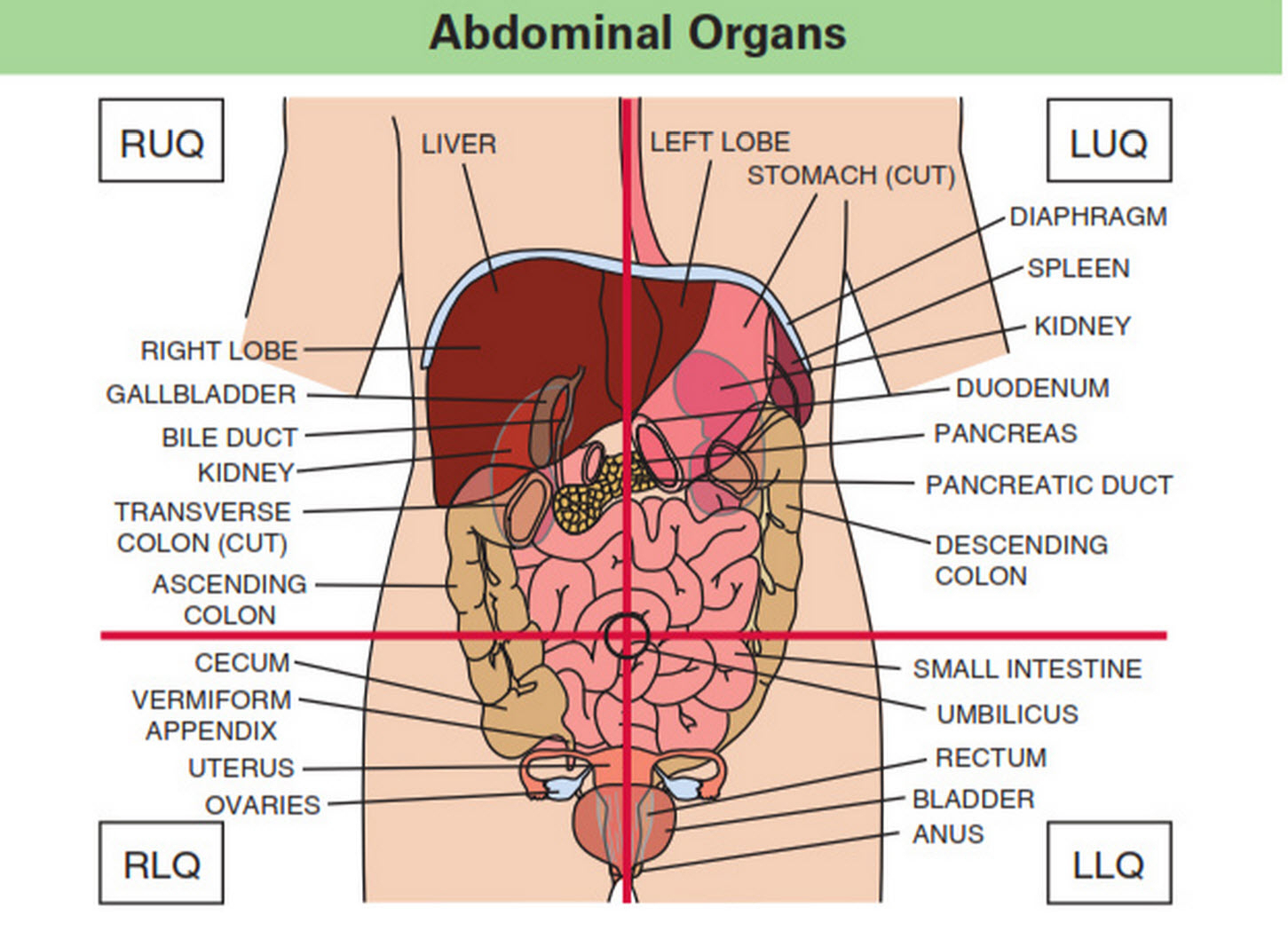 abdominal-quadrants-organs-in-the-abdominal-quadrants.jpg