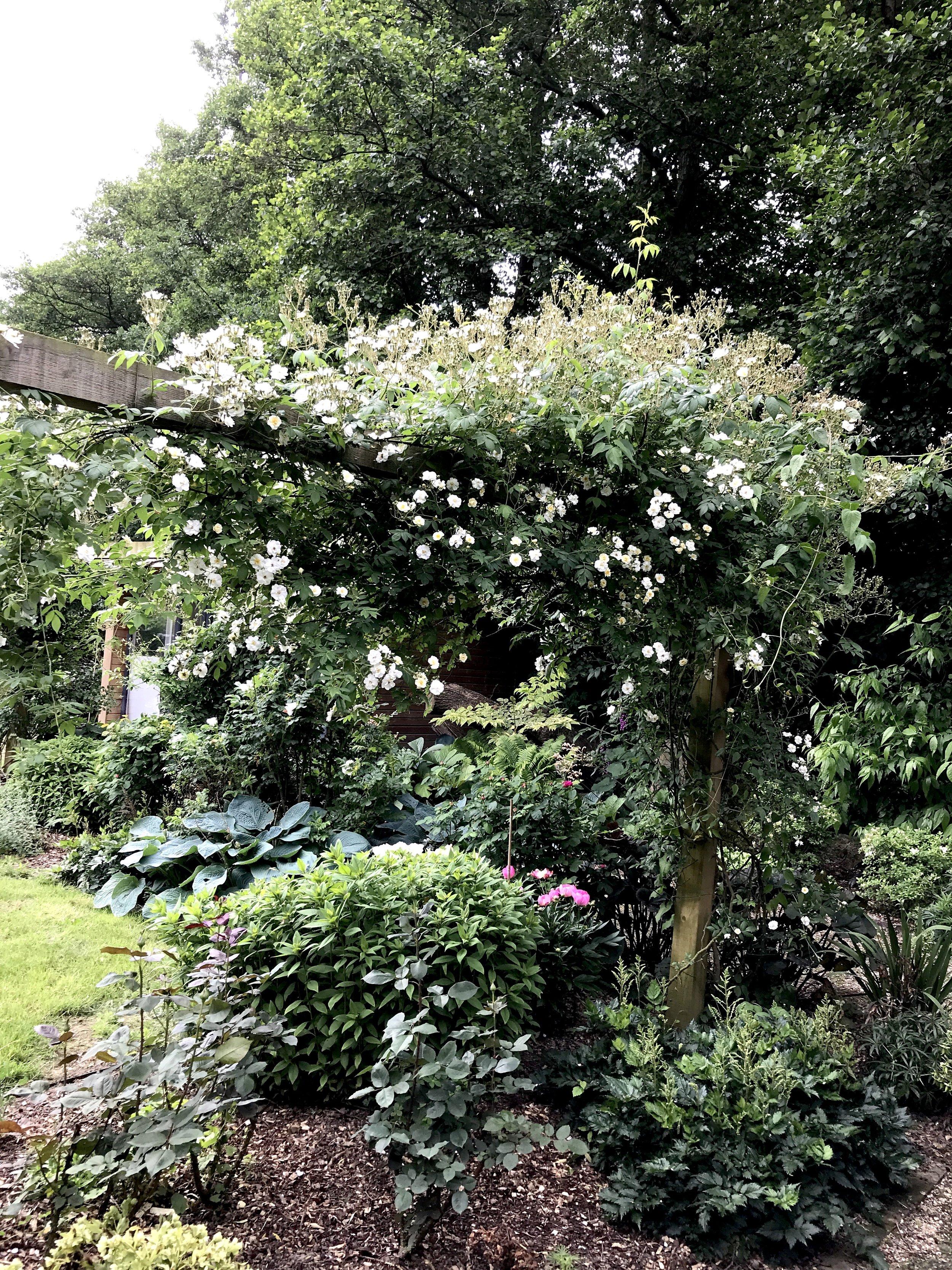 This beautiful rambling rose is just beginning to take shape...