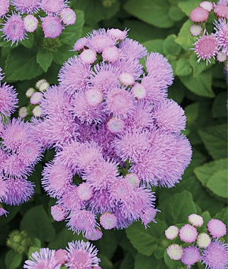 ageratum - blue danube - One of the most intense blue/purple Ageratum on the market. Very uniform and compact, holds color well through the season. *Info taken from Germania Seed Company*Height: 5 - 8 inchesSpread: 5 - 8 inches