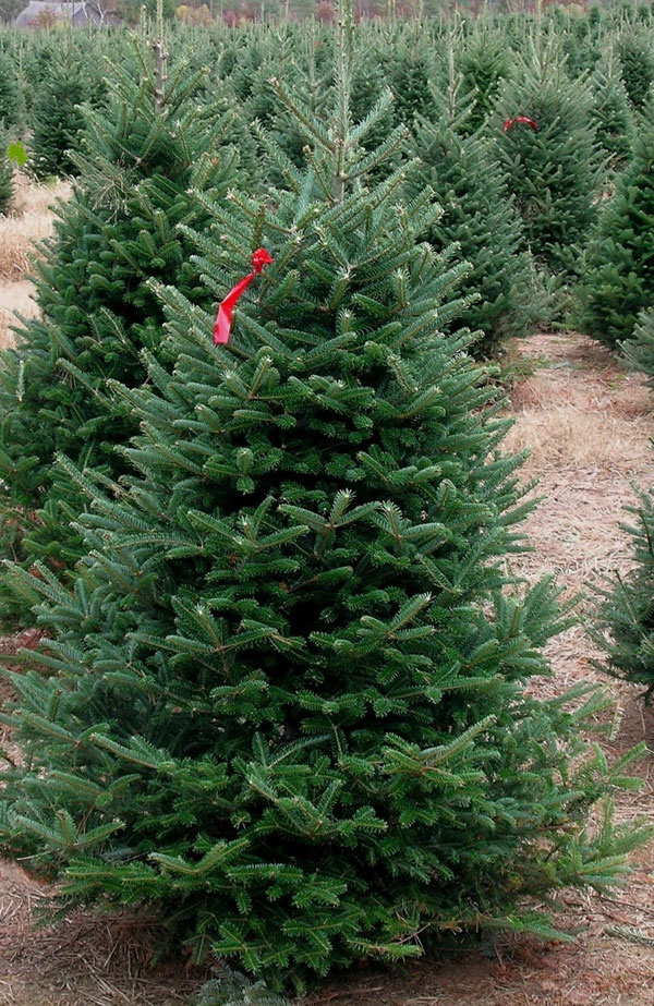 """FRASER FIR  The Fraser Fir is known for its excellent needle retention and silvery-blue color. Originally native to the Appalachian Mountains we have selected seed sources that have adapted well to the more severe Midwest climate. It has short, 1-1 1/4"""" flat needles that are firmly attached yet are pleasantly soft to the touch. Well branched trees will hold customers largest ornaments. The Fraser Fir has gained popularity and in much of the US is the most popular Christmas tree."""