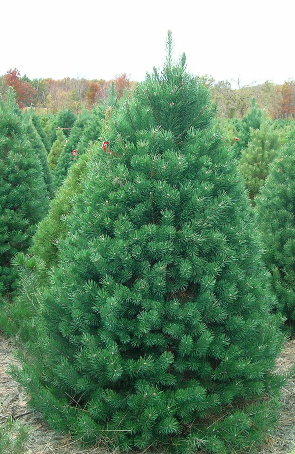 """SCOTCH PINE   WE'RE SORRY BUT THIS TREE WILL BE UNAVAILABLE FOR THE 2018 SEASON   The Scotch Pine is known for its sturdy branching and ability to support large ornaments. Originally from Europe, it has adapted well to the Midwest climate. It has medium 1 1/2-3"""" needles and is renowned for its excellent needle retention. The Scotch Pine provides a nice price point for most Christmas tree buyers."""
