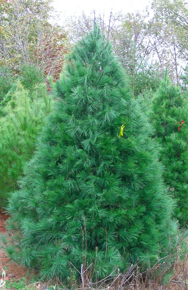 """WHITE PINE  The White Pine is a native variety to Wisconsin and is known for its fragrant aroma. It has long, 2-5"""" slender needles that are soft to the touch. When kept properly watered, needle retention is excellent. These lightweight trees are easy to handle and pack well for shipping. People with evergreen allergies have reported little or no reaction to White Pine. Their dense boughs support lighter ornaments and are popular in garlands, wreaths and centerpieces."""