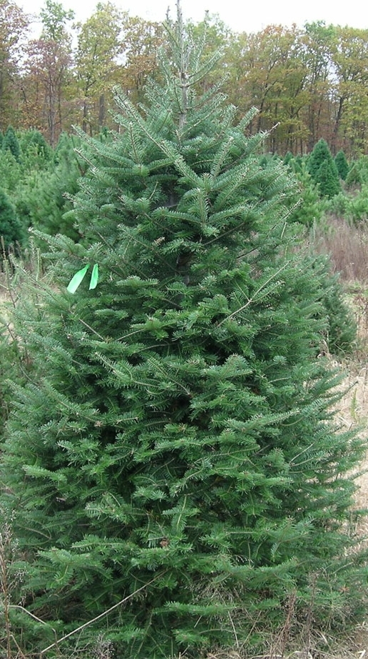 """BALSAM FIR  The Balsam Fir is the most fragrant of the firs. It is a native of Wisconsin with short, 3/4"""" - 1 1/2"""" flat needles. The needles are singly attached and form a very soft, feather-like spray of foliage. Use the Balsam Fir as a lightweight option for smaller spaces or boughs for decorating mantels and entryways. It also lends itself to a beautiful option for large trees, 12' and above."""