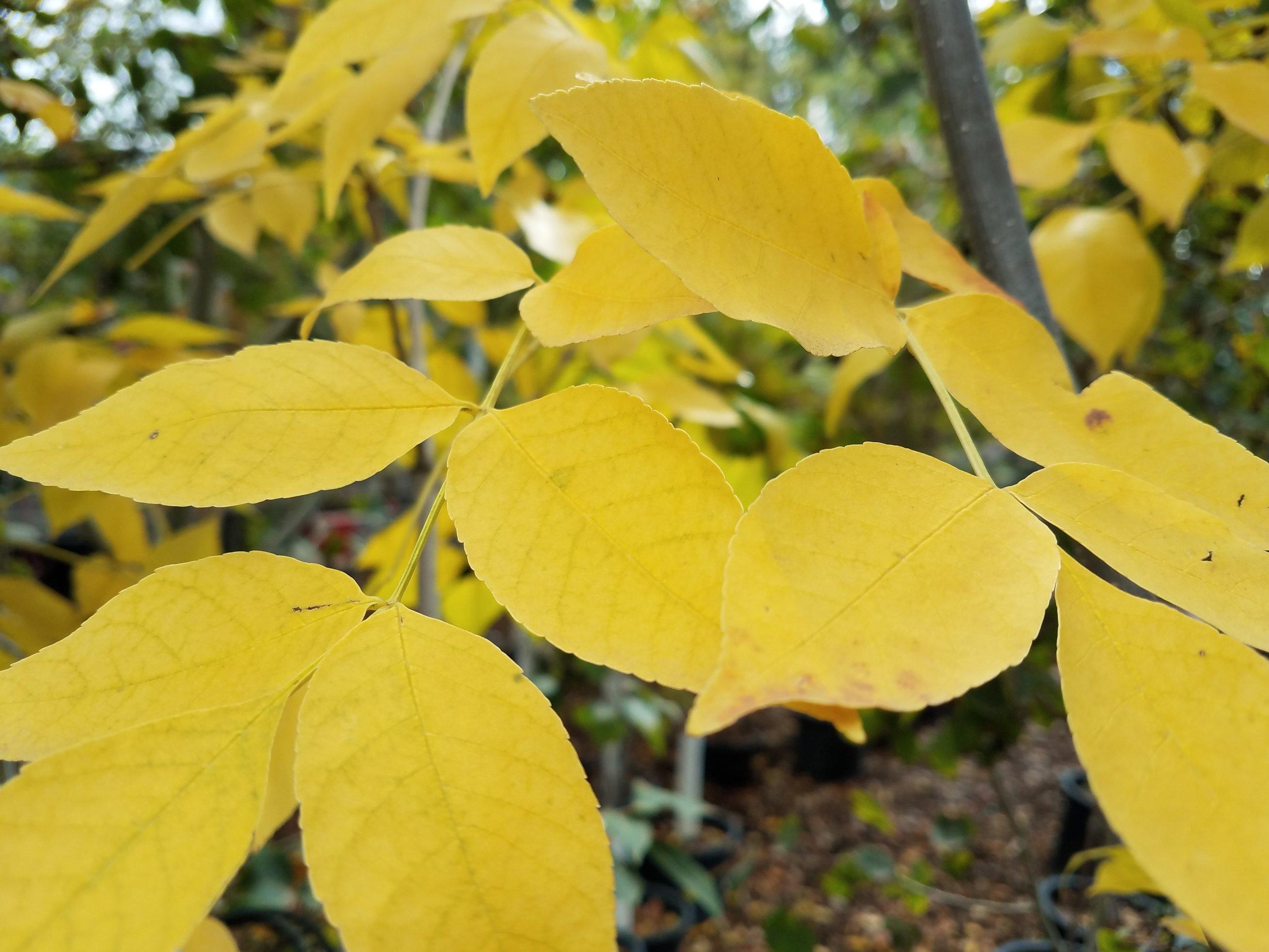 Fraxinus penn Prairie Spire Green Ash (question).jpg