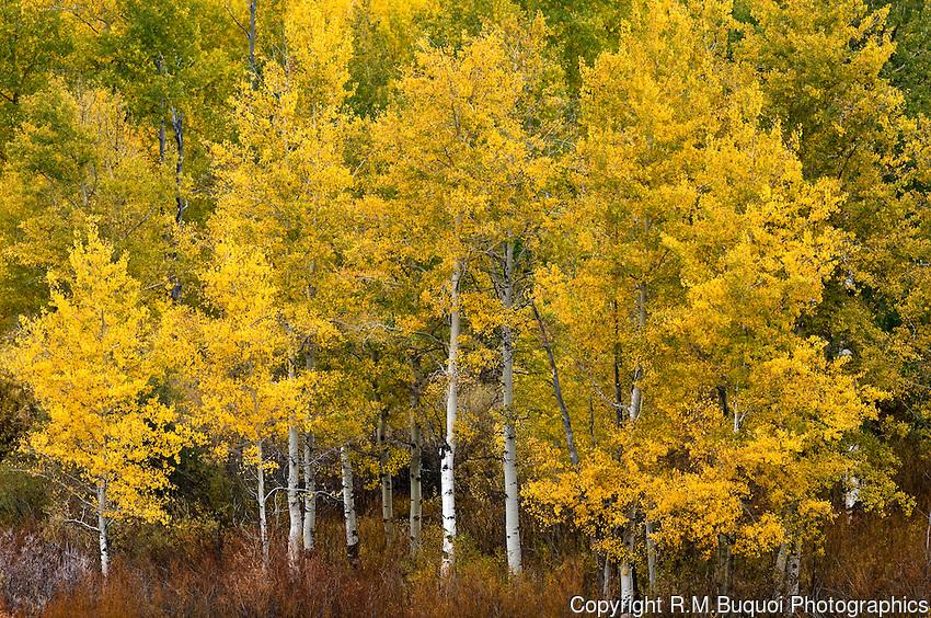 R55-2007-070-Fall-Aspen-Trees.jpg