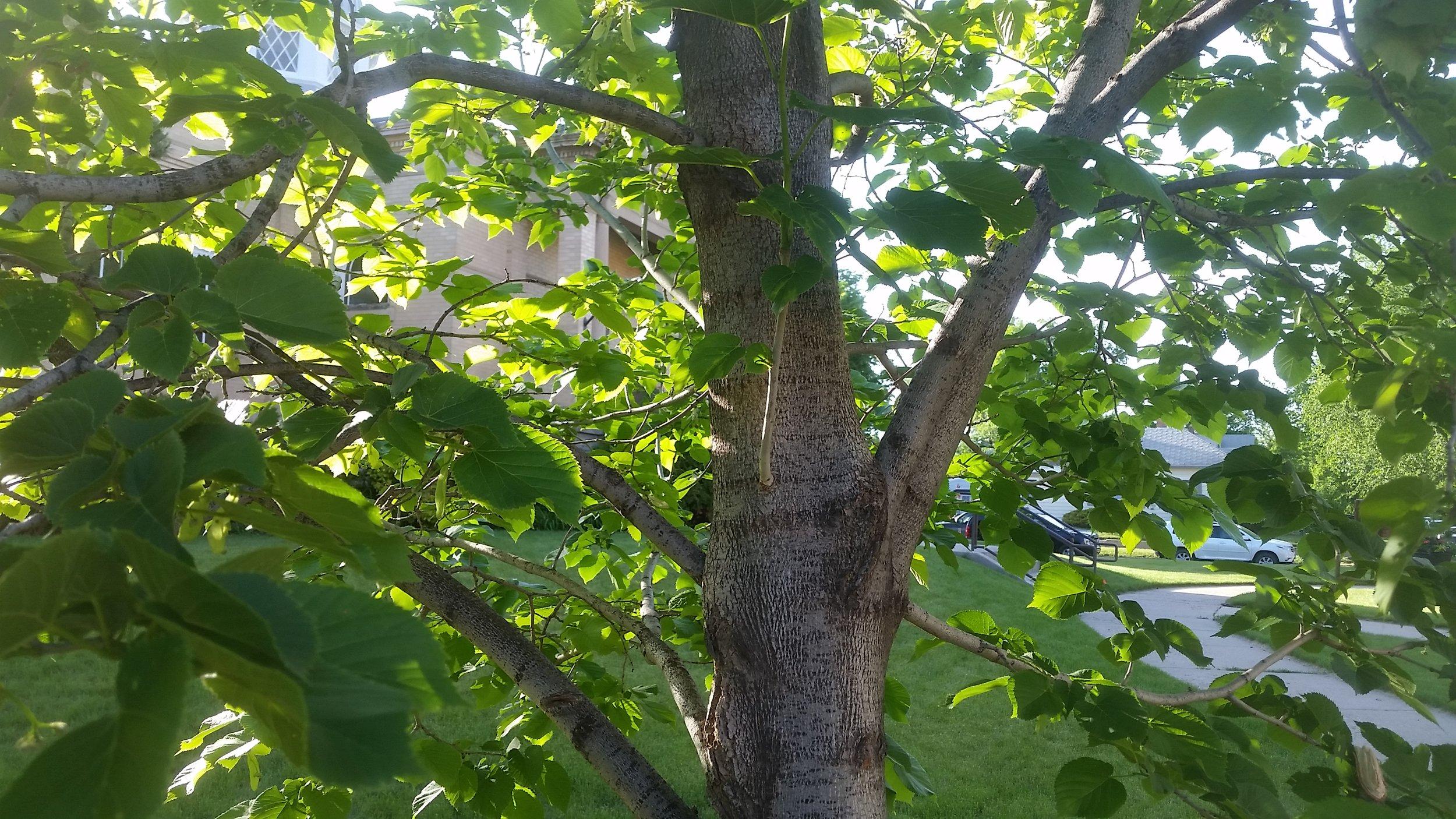 Tilia cord 3 (bark).jpg