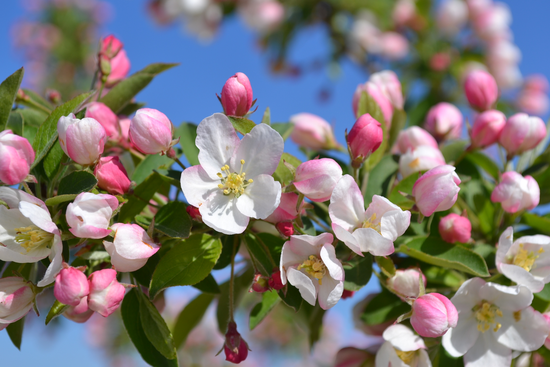 Sugar-Tyme-Crabapple-Flowers.jpg