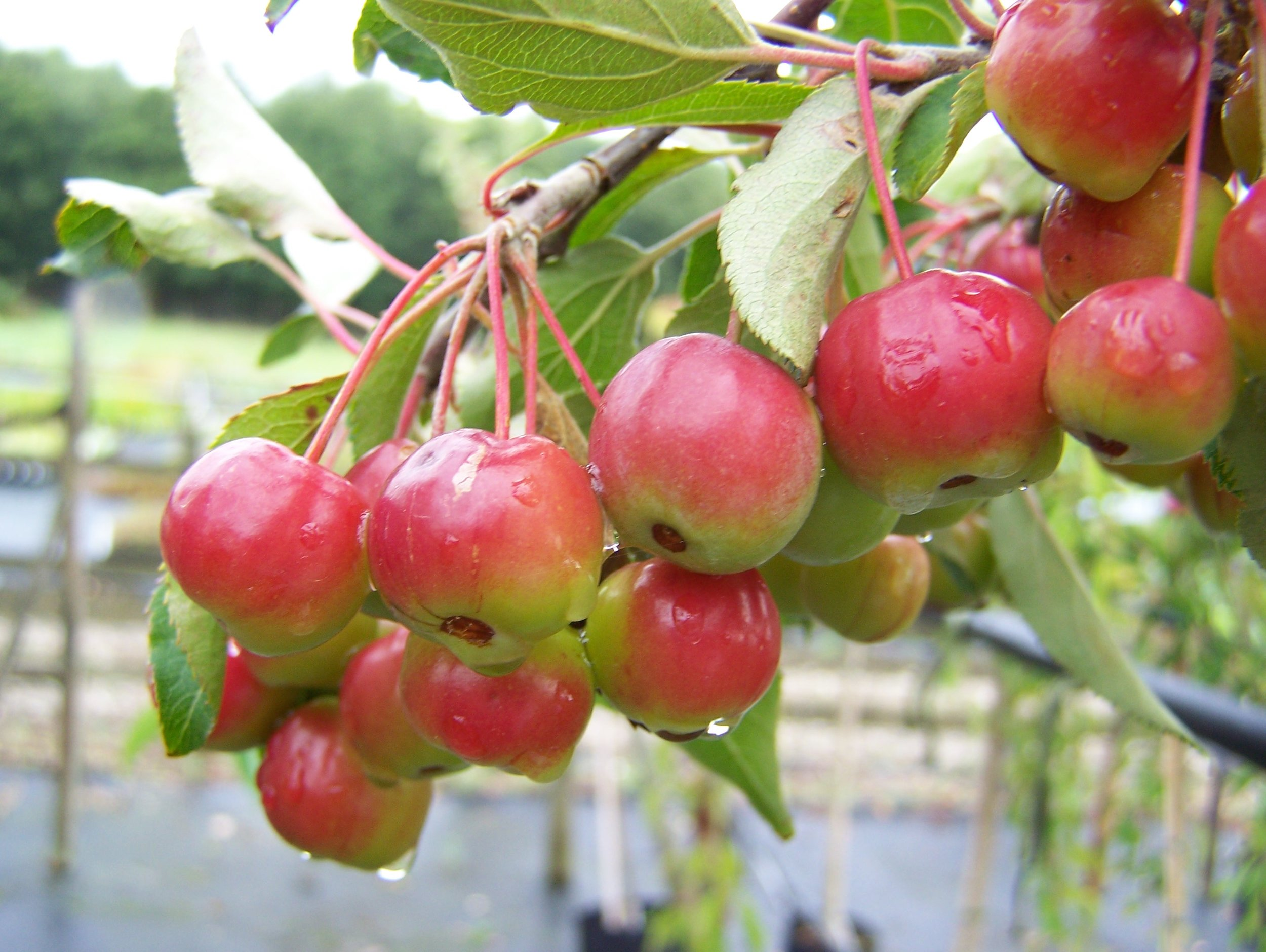 RIPENING CRABAPPLE FRUIT