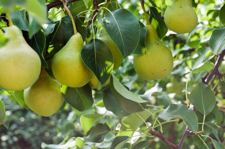 Golden Spice Pear.jpg
