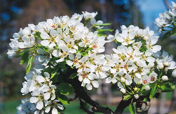 Ure Pear flowers.jpg