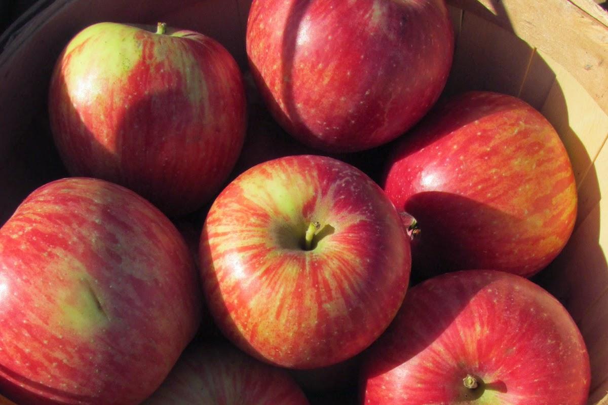 Haralson Apples.JPG