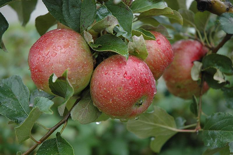 Sweet Sixteen Apple.jpg