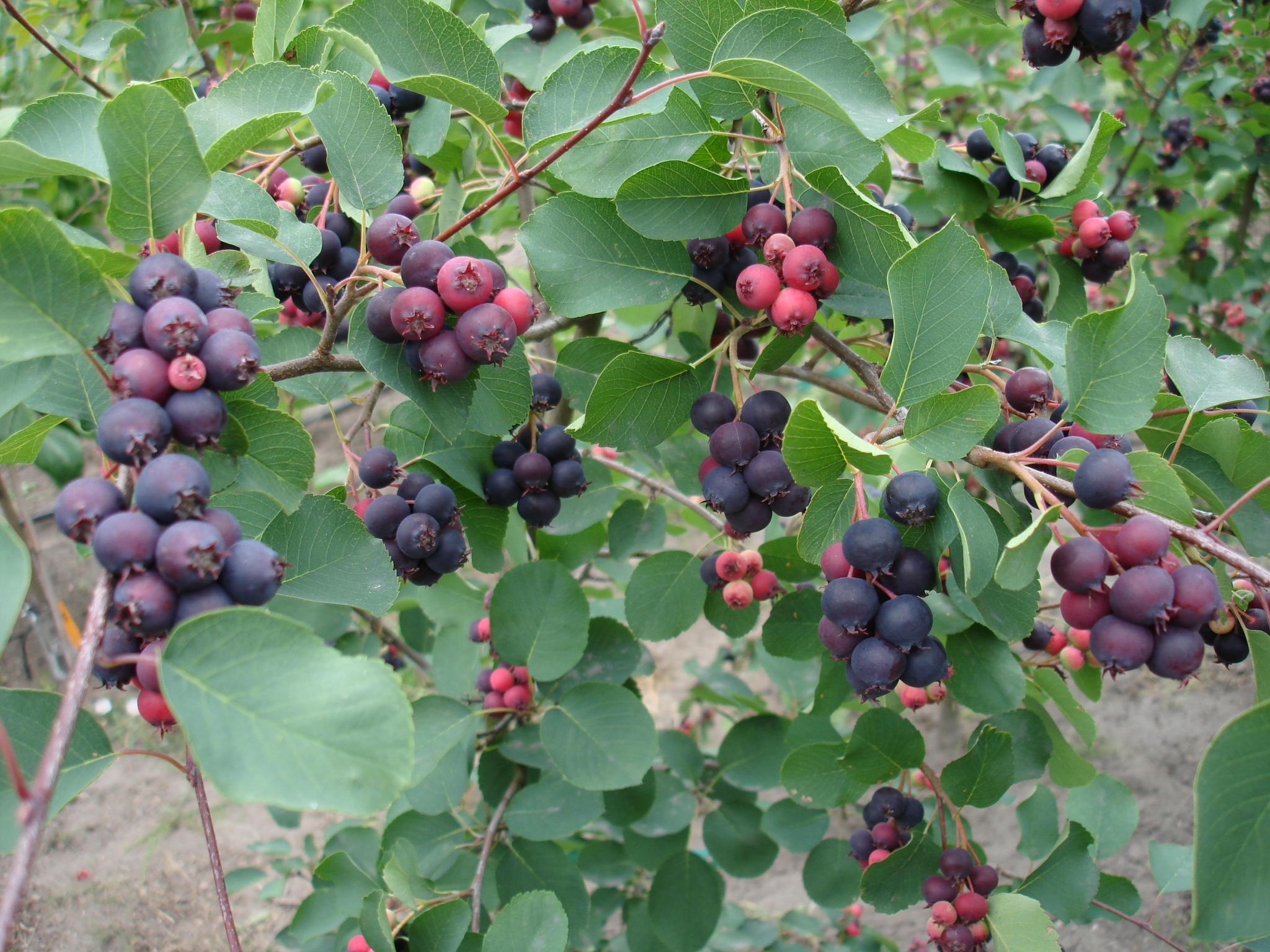 amelanchier-alnifolia-Forestburg-owoce06698.JPG