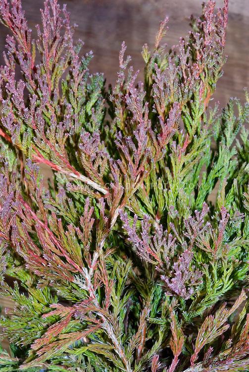 Conifer-Juniperus-horizontalis-PlumosaCompactus-33309.jpg