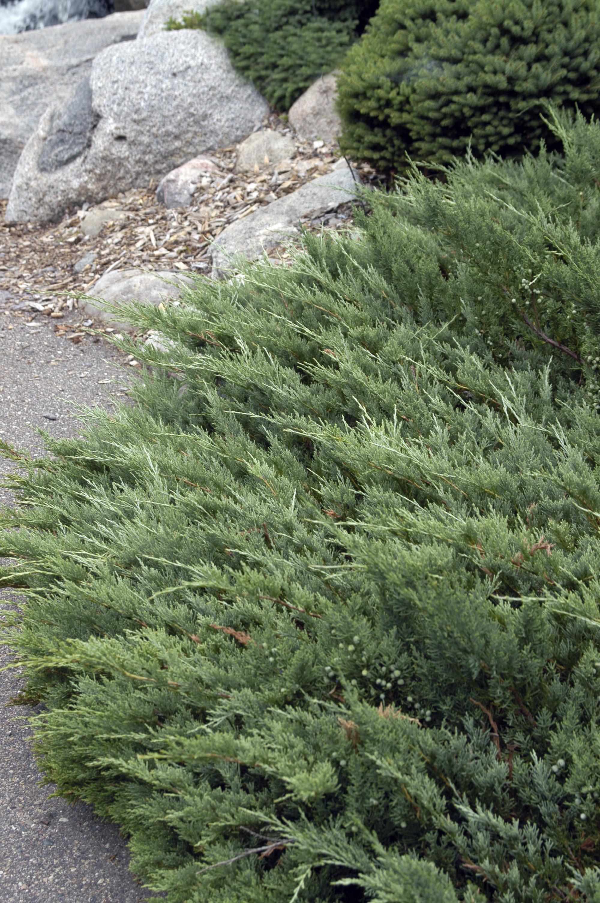 1044-2_JuniperushorHughes.jpg.jpg