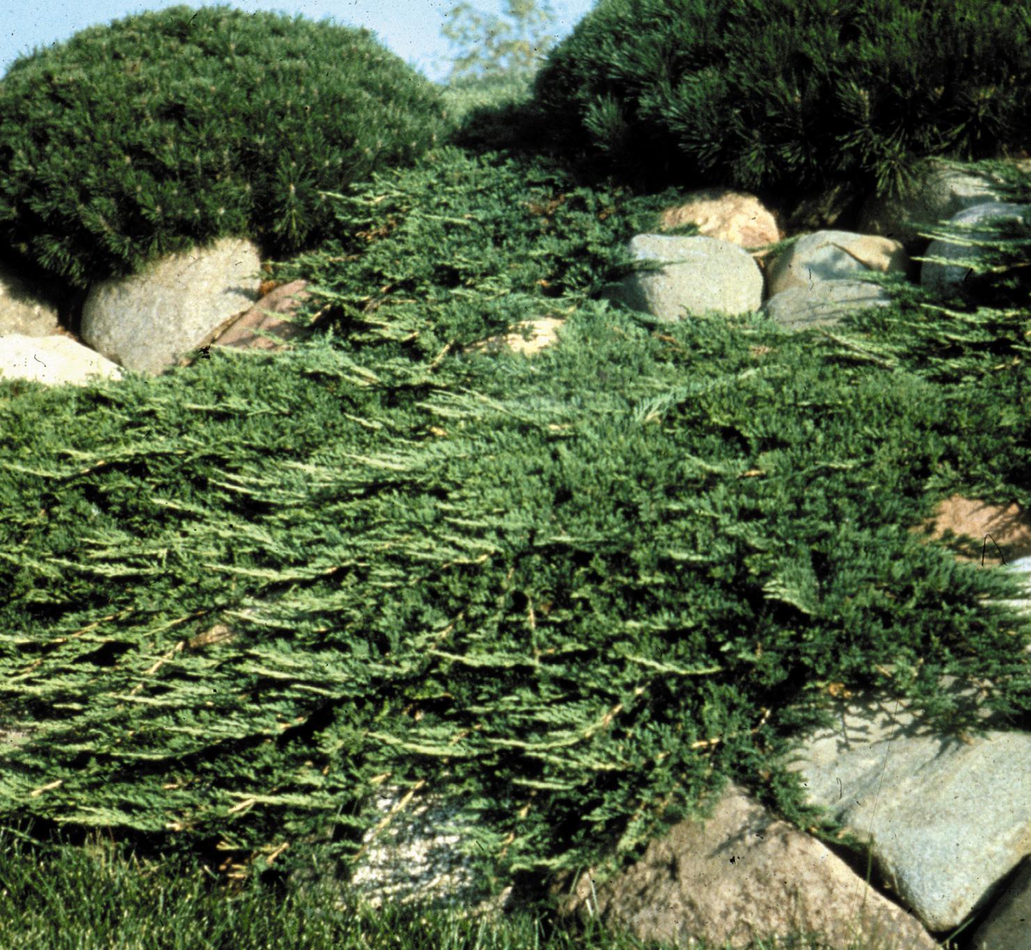 1046-1_JuniperushorPrinceOfWales_CC.jpg.jpg