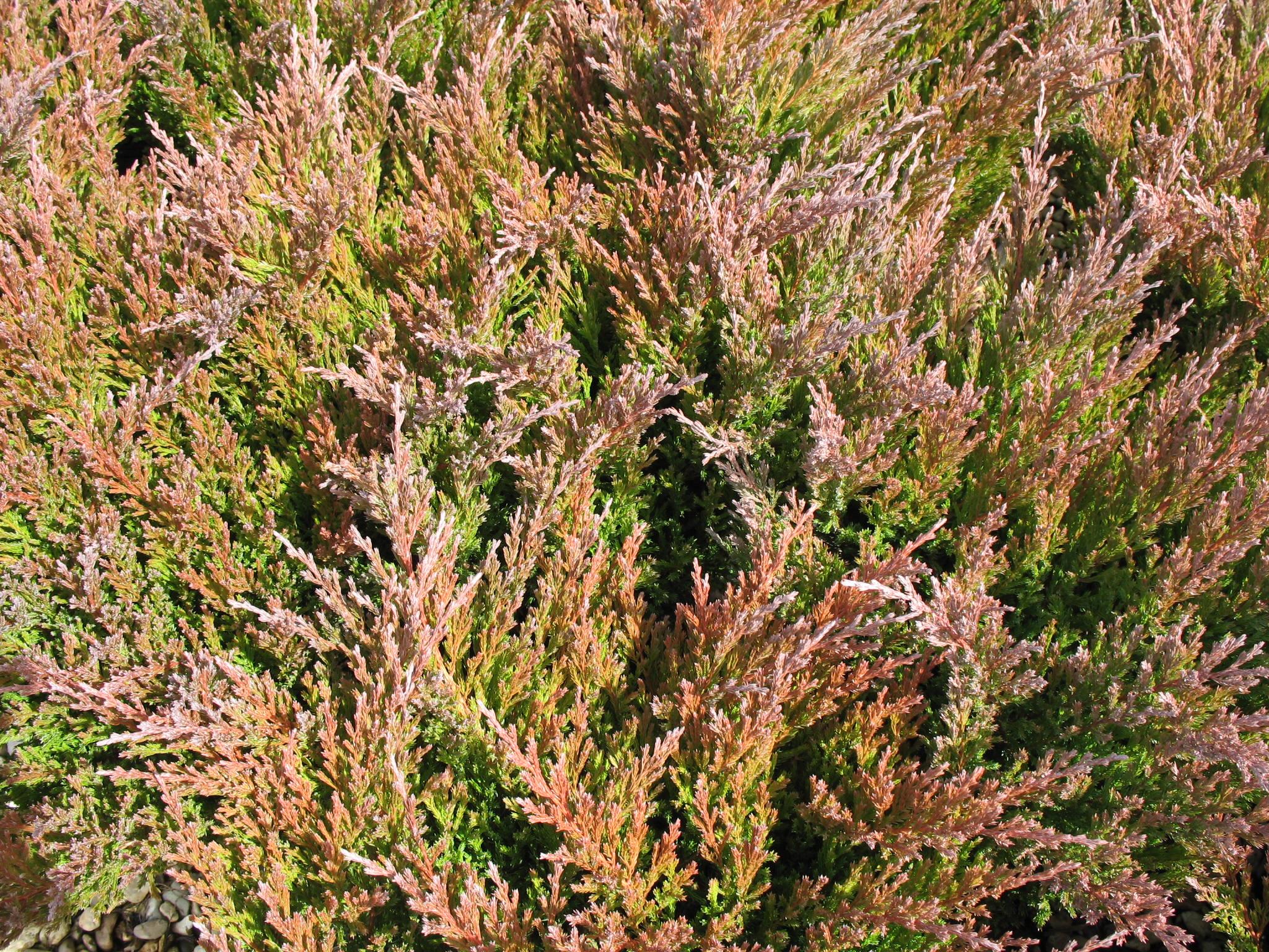 juniperus horizontalis fall color.jpg