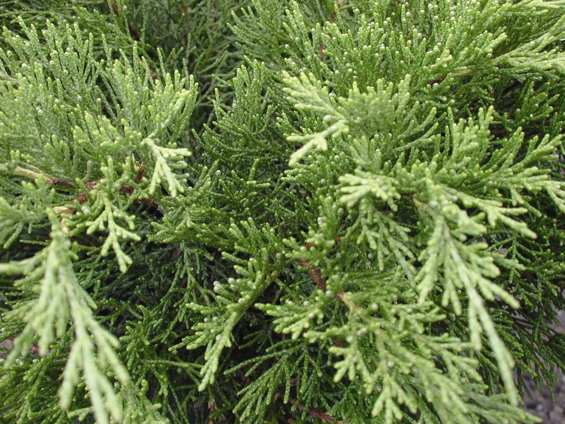 1052-1_JuniperussabArcadia.jpg.jpg